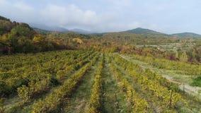 Νέες σειρές αμπελώνων σταφυλιών Παλαιοί αμπελώνες με τα σταφύλια κόκκινου κρασιού πλάνο Όμορφοι φυσικοί αμπελώνες στην ανατολή απόθεμα βίντεο