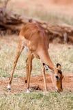 Νέες στάσεις μωρών Impala και προσοχή άλλων αντιλοπών σε μια επιφύλαξη παιχνιδιού Στοκ Φωτογραφία