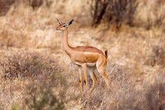 Νέες στάσεις μωρών Impala και προσοχή άλλων αντιλοπών σε μια επιφύλαξη παιχνιδιού Στοκ φωτογραφία με δικαίωμα ελεύθερης χρήσης