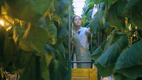 Νέες συγκομιδές γυναικών των αγγουριών που στέκονται στο θερμοκήπιο της γεωργικής εκμετάλλευσης απόθεμα βίντεο