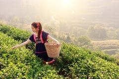 Νέες φυλετικές ασιατικές γυναίκες από τα φύλλα τσαγιού επιλογής της Ταϊλάνδης στο τσάι Στοκ Εικόνα