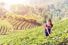 Νέες φυλετικές ασιατικές γυναίκες από τα φύλλα τσαγιού επιλογής της Ταϊλάνδης στο τσάι Στοκ φωτογραφία με δικαίωμα ελεύθερης χρήσης