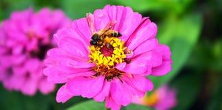 Νέκταρ κράτησης μελισσών από το λουλούδι κόσμου Στοκ Φωτογραφία