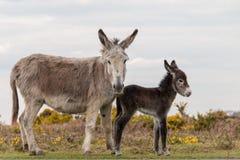 Νέοι δασικοί δύο γάιδαροι mum και χρώμα μωρών Στοκ εικόνα με δικαίωμα ελεύθερης χρήσης