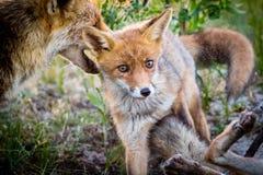 Νέοι αλεπού και γονέας Στοκ φωτογραφίες με δικαίωμα ελεύθερης χρήσης
