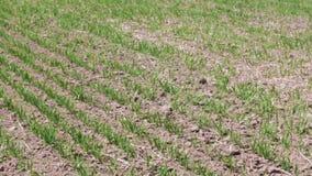 Νέοι βλαστοί γεωργικών εγκαταστάσεων φιλμ μικρού μήκους