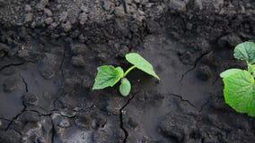 Νέοι βλαστοί του αγγουριού μέσα στην υγρή γη φιλμ μικρού μήκους