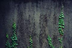Νέοι βλαστοί του κισσού που αναρριχείται σε έναν τοίχο Στοκ Φωτογραφία