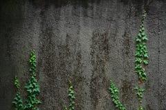 Νέοι βλαστοί του κισσού που αναρριχείται σε έναν τοίχο Στοκ Εικόνες