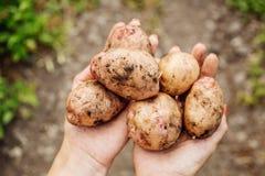 Νέοι βολβοί πατατών συγκομιδών στα χέρια Στοκ Εικόνα