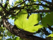 Νέοι ηλιόλουστοι κλάδοι και φύλλα σταφυλιών Στοκ εικόνες με δικαίωμα ελεύθερης χρήσης