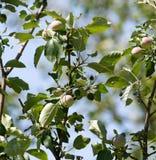Νέοι κλάδοι ενός Apple-δέντρου στη φύση Στοκ Εικόνα