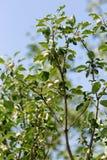 Νέοι κλάδοι ενός Apple-δέντρου στη φύση Στοκ εικόνα με δικαίωμα ελεύθερης χρήσης