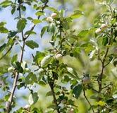 Νέοι κλάδοι ενός Apple-δέντρου στη φύση Στοκ εικόνες με δικαίωμα ελεύθερης χρήσης