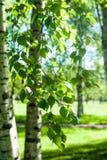 Νέοι κλάδοι σημύδων στο φως του ήλιου πράσινη άνοιξη ανασκόπησης Στοκ φωτογραφίες με δικαίωμα ελεύθερης χρήσης