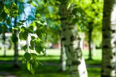 Νέοι κλάδοι σημύδων στο φως του ήλιου πράσινη άνοιξη ανασκόπησης Στοκ φωτογραφία με δικαίωμα ελεύθερης χρήσης