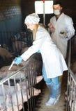 Νέοι κτηνίατροι στα άσπρα παλτά στο χοιροστάσιο Στοκ φωτογραφία με δικαίωμα ελεύθερης χρήσης