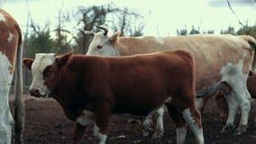 Νέοι κόκκινοι ταύρος και αγελάδα που στέκονται στο λιβάδι στο αγροτικό αγρόκτημα Αγελάδες στο αγρόκτημα βοοειδών φιλμ μικρού μήκους