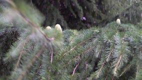 Νέοι κώνοι πεύκων με τη ρητίνη σε έναν κλάδο ενός κωνοφόρου δέντρου στο δάσος απόθεμα βίντεο