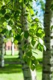 Νέοι κλάδοι σημύδων στο φως του ήλιου πράσινη άνοιξη ανασκόπησης Στοκ Εικόνες