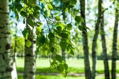 Νέοι κλάδοι σημύδων στο φως του ήλιου πράσινη άνοιξη ανασκόπησης Στοκ Φωτογραφίες