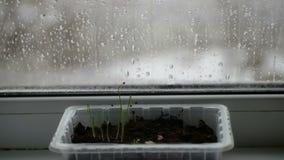 Νέοι νεαροί βλαστοί στο κιβώτιο στο εξοχικό σπίτι windowsill απόθεμα βίντεο