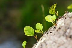 Νέοι νεαρός βλαστός και φύλλο Στοκ εικόνες με δικαίωμα ελεύθερης χρήσης