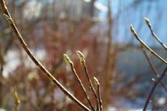 Νέοι οφθαλμοί magnolia στον ηλιόλουστο, χιονώδη οργανικό κήπο μου, στοκ φωτογραφίες με δικαίωμα ελεύθερης χρήσης