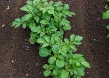 Νέοι πράσινοι βλαστημένοι βλαστοί πατατών στον τομέα στοκ φωτογραφία