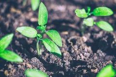 Νέοι πράσινοι βλαστοί του σποροφύτου Στοκ εικόνες με δικαίωμα ελεύθερης χρήσης