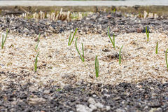 Νέοι πράσινοι βλαστοί των πράσινων κρεμμυδιών στον κήπο την άνοιξη Στοκ εικόνες με δικαίωμα ελεύθερης χρήσης