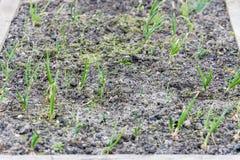 Νέοι πράσινοι βλαστοί των πράσινων κρεμμυδιών στον κήπο την άνοιξη Στοκ εικόνα με δικαίωμα ελεύθερης χρήσης
