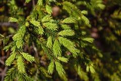 Νέοι πράσινοι κλάδοι δέντρων του FIR Στοκ Εικόνα