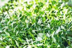 Νέοι πράσινοι νεαροί βλαστοί σποροφύτων, και σπορόφυτα Στοκ Φωτογραφίες