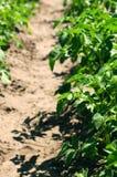 Νέοι πράσινοι νεαροί βλαστοί των πατατών στην ηλιόλουστη ημέρα Στοκ Φωτογραφία