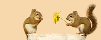 Νέοι σκίουροι ερωτευμένοι. στοκ φωτογραφία