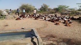 Νέοι φύλακες βοοειδών που υπερασπίζονται τα βοοειδή που βρίσκονται στον τομέα στο Jodhpur απόθεμα βίντεο