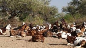 Νέοι φύλακες βοοειδών που υπερασπίζονται τα βοοειδή που βρίσκονται στον τομέα στο Jodhpur φιλμ μικρού μήκους