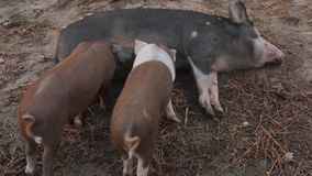 Νέοι χοίροι που ταΐζουν από τη μητέρα τους απόθεμα βίντεο