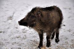 Νέος άγριος κάπρος Στοκ Φωτογραφίες