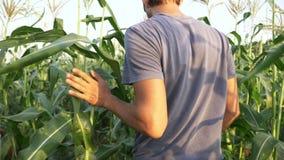 Νέος αγρότης που ελέγχει την πρόοδο της αύξησης σπαδίκων καλαμποκιού στον τομέα του οργανικού αγροκτήματος απόθεμα βίντεο