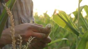 Νέος αγρότης που κρατά ένα αυτί του καλαμποκιού απόθεμα βίντεο
