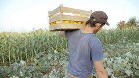 Νέος αγρότης που πηγαίνει στον τομέα με το ξύλινο κιβώτιο της οργανικής κολοκύθας θάμνων στοκ φωτογραφία