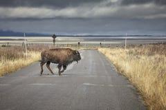 Νέος αμερικανικός βίσωνας που τρέχει πέρα από το δρόμο σε μεγάλο Teton εθνικό Στοκ Εικόνες