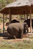 Νέος αρσενικός ελέφαντας Στοκ Φωτογραφία