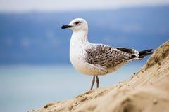 Νέος ασημένιος γλάρος στην παραλία Στοκ εικόνες με δικαίωμα ελεύθερης χρήσης
