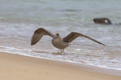 Νέος ασημόγλαρος στην παραλία στοκ εικόνα με δικαίωμα ελεύθερης χρήσης