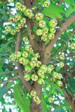 Νέος αυξήθηκε μήλο στο δέντρο Στοκ φωτογραφία με δικαίωμα ελεύθερης χρήσης