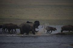 Νέος αφρικανικός ταύρος ελεφάντων που χαράζει τους βούβαλους Στοκ Φωτογραφία