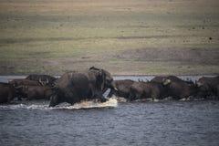 Νέος αφρικανικός ταύρος ελεφάντων που χαράζει τους βούβαλους Στοκ Φωτογραφίες